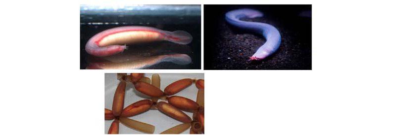 沼津港深海水族館でヌタウナギの赤ちゃん誕生!