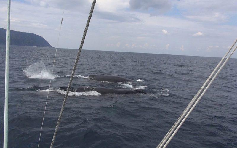 八丈島に今年もザトウクジラがやってきた