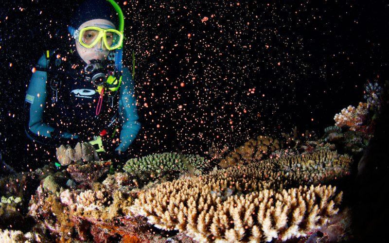 八重山 サンゴの産卵を確認!
