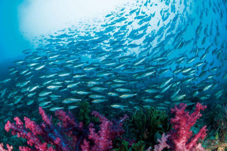 DIVER ONLINE 鹿児島 ダイビング イサキの大群