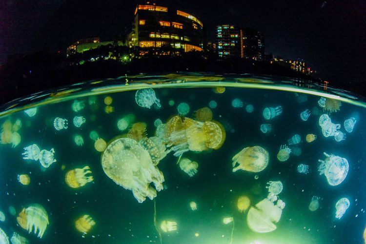 DIVER ONLINE 鹿児島 ダイビング タコクラゲ